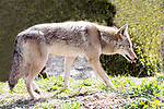Coyote walking right full body view.