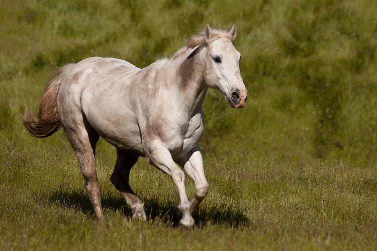 White horse galloping through a field