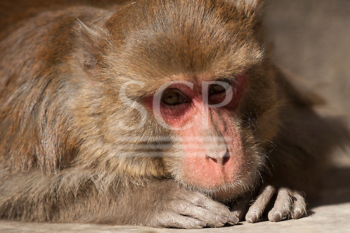 Shimla, Himachal Pradesh, India. Portrait of a red-faced rhesus macaque monkey looking at the camera.