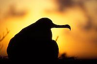 Great Frigatebird-female in silouette-on nest.