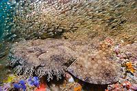 Tasselled wobbegong (Eucrossorhinus dasypogon) covered in bait fish. Exmouth, Western Australia, Indian Ocean