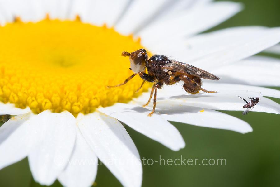 Blasenkopffliege, Blasenkopf-Fliege, Dickkopffliege, Myopa cf. buccata, thick-headed fly, Blasenkopffliegen, Dickkopffliegen, Conopidae, thick-headed flies