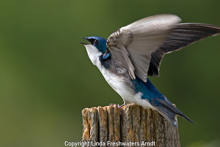 Tree swallow (Tachycineta bicolor) defending territory.  Summer. Winter, WI.