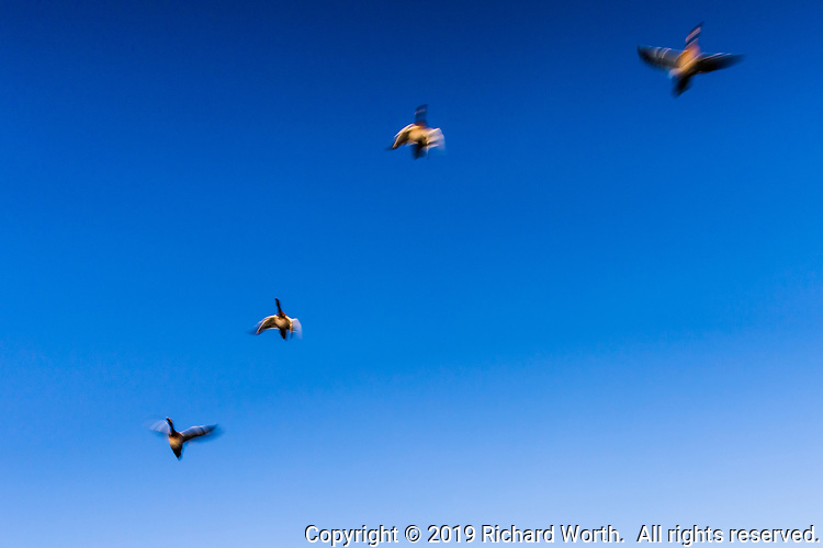 In flight, four Canada Geese against a clear blue sky, their flight accentuated by slow-shutter capture.