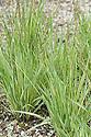 Variegated purple moor grass (Molinia caerulea 'Variegata'), early July.