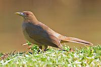 Clay-colored robin