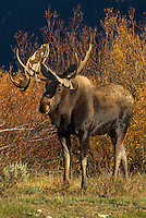 Bull Moose (Alces alces) in willows, Western U.S., fall.