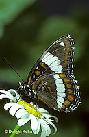 LE27-001b  Butterfly - White Admiral - Basilarchia arthemis