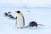 Snow Hill Island, Antarctica. Adult Emperor penguins tobogganing to save energy while traversing the ice.