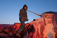 inupiaq whaler butchers a bowhead whale, Balaena mysticetus, for distribution to the villagers of Barrow, Alaska, Chukchi Sea