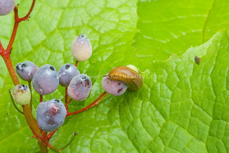 Slug pest insect on fruit berry of Diphylleia cymosa Umbrella leaf