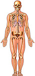 This medical illustration depicts a complete male skeleton within a flat color body outline. The skeletal anatomy shows the ribcage, spine, pelvis, arm and leg bones.
