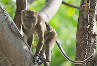 Captive long-tailed macaque (Crab-eating macaque), Macaca fasicularis, chained to a tree in front of a residence in the Manatuto district of Timor-Leste (East Timor)
