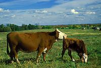 Cow grooming calf