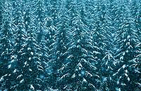 Pine Tree Forest in Snow Storm, Cascade Mountain Range, Washington, USA.