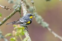 Male Yellow-rumped Warbler (Setophaga coronata). Multnomah County, Oregon. April.