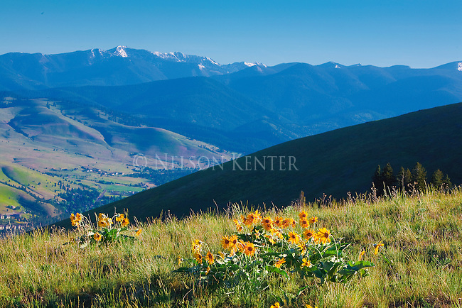 Arrow leafed balsamroot flowers on Mount Sentinel above Missoula, Montana