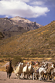 Colca Valley, Peru. Llamas with snow capped mountain behind.