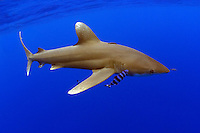 Oceanic whitetip shark, Carcharhinus longimanus, with pilot fish.  Hawaii.