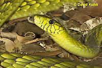 0423-1118  Western Green Mamba (West African Green Mamba), Detail of Head, Dendroaspis viridis  © David Kuhn/Dwight Kuhn Photography