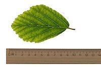 Frühlings-Zaubernuss, Frühlings-Zaubernuß, Hamamelis vernalis, Ozark witchhazel. Blatt, Blätter, leaf, leaves