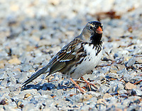 Adult Harris's sparrow in January
