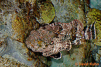 "0109-08nn  Spotted Scorpionfish ""Venomous Spines on Fish"" - Scorpaena plumieri  © David Kuhn/Dwight Kuhn Photography"