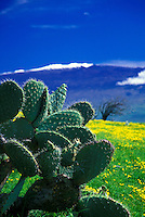 Close up of a cactus with snow capped Mauna Kea  in the foreground, Big Island