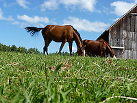 Two horses standing on a perfect day grazing green grass