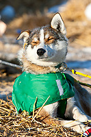 Quinn Iten's dog *Beavis* rests in the sun on straw at the village checkpoint of Ruby in Interior Alaska during the 2010 Iditarod