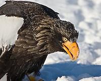 A Stellar Sea Eagle munches on his kill on an ice floe near Rausu, Hokkaido, Japan, February 2008