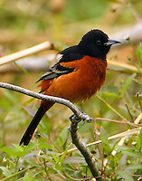 Adult male orchard oriole