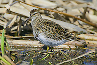 Least Sandpiper standing on some reeds