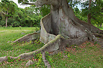 Puerto Rico, Vieques<br /> A landmark Ceiba (Ceiba pentandra) tree 300 years old, also known as a kapok or silk cotton tree