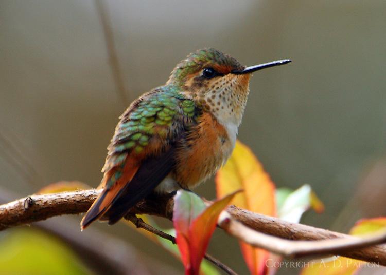 Female scintillant hummingbird