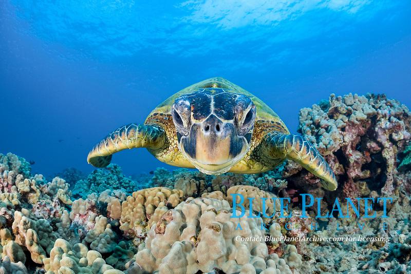 green sea turtle, Chelonia mydas, Maui, Hawaii, USA, Pacific Ocean
