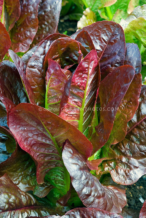 Red leaf lettuces Recoba growing, romaine cos lettuce