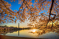 Washington Monument Cherry Blossoms Tidal Basin Washington DC Cherry Blossoms Washington Monument Tidal Basin Washington DC Cherry Blossoms Tidal Basin Washington DC<br /> Cherry Blossoms blooming around the Tidal Basin in Washington, DC symbolize the natural beauty of our nation's capital city and has become part of Washington, D.C.'s rite of spring. Landmarks include the Jefferson Memorial, Washington Monument, and US Capitol. A popular tourist attraction and travel destination for many visiting Washington, D.C.