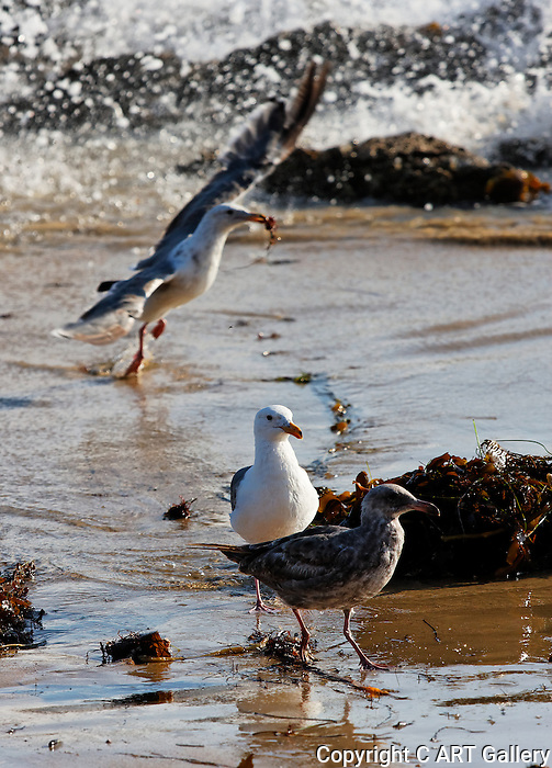 Seagulls and seaweed, Crystal Cove State Park.