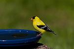 American Goldfinch perched on a bird bath