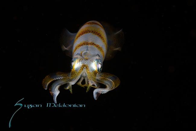 Squid ,Lembeh, Indonesia 2017