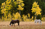 fall morning in the Rocky Mountains, horses in meadow in Tahosa Valley, near Estes Park, Colorado, USA