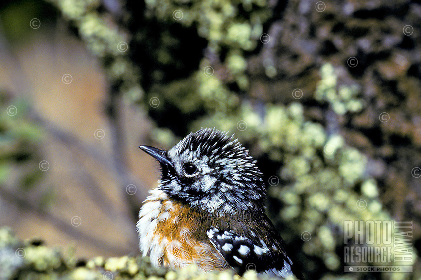 The native forest bird elepaio, (chasiempis sandwichensis). Found on Kauai, Oahu and Hawaii.  This form is found only on Mauna Kea on the Big Island.