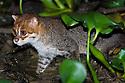 Flat-headed Cat (Felis planiceps) hunting frogs in the river margins at night. Menanggol River, Sabah, Borneo.