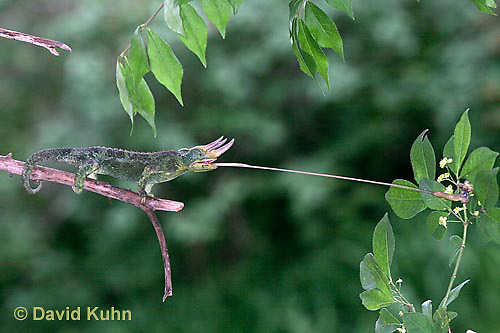 """1104-07zz  Jackson chameleon """"Shooting Out Tongue to Catch Insect"""" - Chamaeleo jacksonii - © David Kuhn/Dwight Kuhn Photography [See 1104-07xx, 1104-07yy, 1104-07zz for Complete Tongue Flicking Sequence]"""
