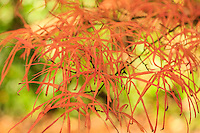 France, Allier (03), Villeneuve-sur-Allier, Arboretum de Balaine en automne, feuille d'érable palmé 'Linearifolium' (Acer palmatum 'Linearifolium')
