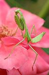 Mantis on Rose, Arizona Mantis female, Stagmomantis limbata, Praying Mantis, Southern California