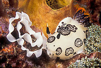 Nudibranch, Jorunna funebris, laying eggs.  Thailand, Andaman Sea