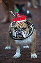 """18/12/16<br /> <br /> British Bulldog, Bubba Klaus.<br /> <br /> Close to 800 dogs, many of them dressed up in festive garb, have visited their very own Santa Paws in a special dog-only Christmas grotto held in Sherwood Forest in Nottinghamshire this weekend.<br /> The two-day event, which was organised by park rangers working for Nottinghamshire County Council, has been running for three years.<br /> Ranger Graeme Turner, who originally came up with the idea for a doggy-themed Santa's Grotto said this year has been the best so far.<br /> """"The queue is huge, it snakes back all the way round the visitor's centre,"""" he said. """"All the dogs are being very well behaved, I guess they don't want to get onto Santa Paw's naughty list this close to Christmas!""""<br /> All canine visitors to the grotto got a special doggy bag full of treats and money raised from the event will go to Jerry Green Dog Rescue charity.<br /> <br /> All Rights Reserved F Stop Press Ltd. (0)1773 550665   www.fstoppress.com"""