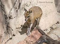 0604-1116  Klipspringer (Rock Jumper Antelope), Small Antelope on Boulders, Oreotragus oreotragus  © David Kuhn/Dwight Kuhn Photography